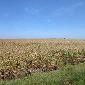 Corn Field on Fuchs Grove Road